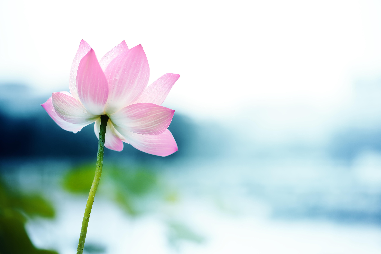 Blooming lotus flower the alchemists heart blooming lotus flower izmirmasajfo